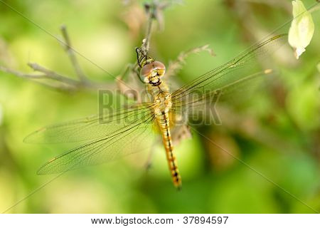 Closeup Of Resting Dragonfly