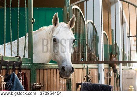 Beautiful White Horse At The Ranch. Hippodrome Preparing For The Race. A Magnificent Animal In The S