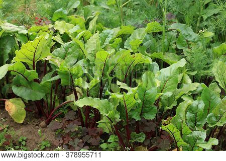 Growing Beets In A Village In Russia In The Middle Lane, The Concept Of Eco Products, Natural Food W