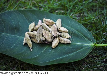 Cardamom Pods On Leaf, On Grass Outdoor. Herbal Spice Masala From India. Indian Pakistani Spice Used