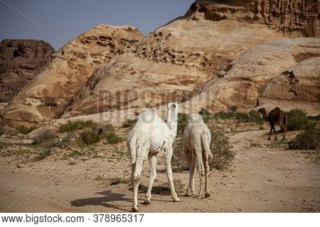 Three Dromedary Camels In Jordan. Image Features Unique Stone Formations Arid Landscape, Two White C