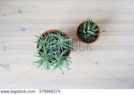 Succulents House Plants Senecio And Haworthia In Terracotta Pots On Wooden Table