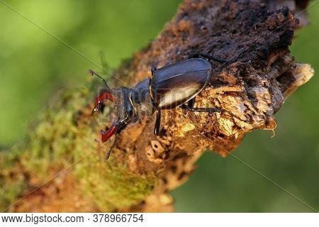 The Stag Beetle (lucanus Cervus) Sitting On The Branch. A Large Beetle Sitting On A Branch With A Li