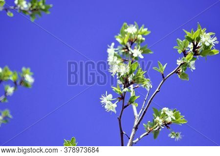 Cherry. White Cherry Blossoms Against A Blue Sky. Plant. Botany. Background. The Awakening Of Nature