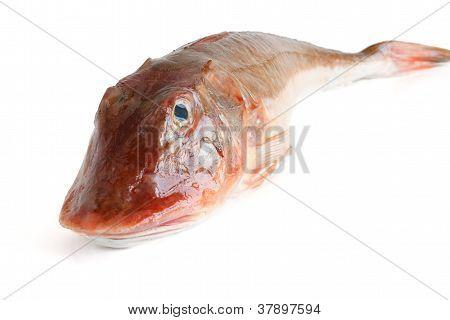 Tub Gurnard Fish