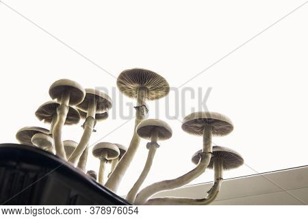 Fungi Hallucinogen. Fresh Psilocybin Shroom. Magic Shroom. Hallucinogenic Psychedelic Drug.