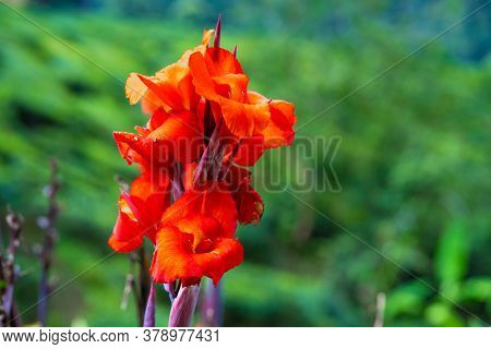 Blooming Canna Indica Flower. Beautiful Photograph Of A Red Canna Flower. Scientific Name: Canna Ass