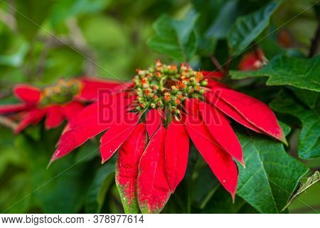 Euphorbia Is A Beautiful Poinsettia Green Plant With Bright Red Leaves. Christmas Holidays, Popular