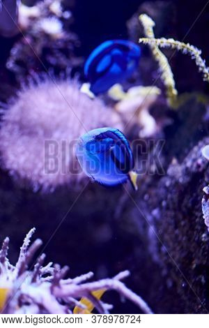 Blue Surgeonfish Swimming In The Sea, Algae, Rocks, Luminosity, Ocean