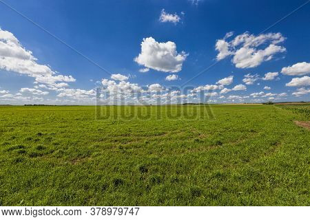 Sweet Green Unripe Cereals In The Field In The Summer, Harvest Cereals And Grains To Feed People And