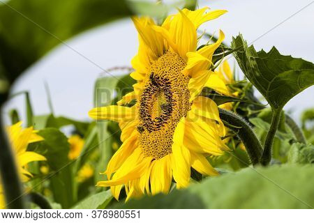 An Agricultural Field Where Annual Sunflowers Are Grown Industrially, Bright Yellow Flowers Sunflowe