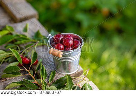 Freshly Picked Cherries In Metal Bucket, Copy Space