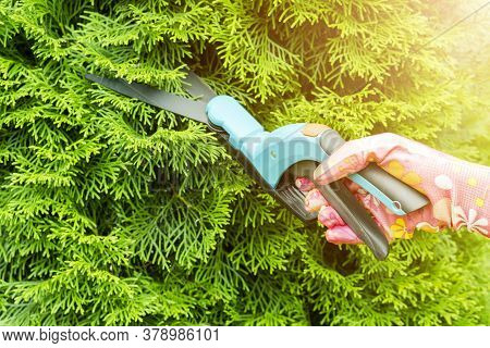 Seasonal Pruning Trees With Pruning Shears. Female Gardener Hand In Protective Gloves Pruning Tree L