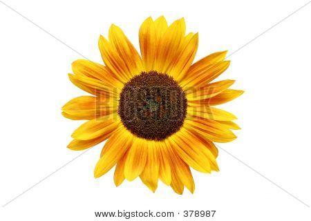 Sunflower Rusted
