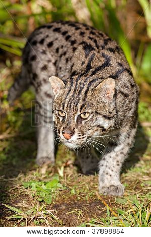 Fishing Cat Prowling In Afternoon Sunshine