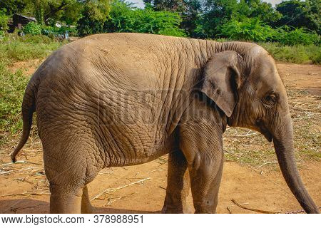 Baby Elephant Portrait. Baby Elephant Playing On The Reserve Field With Isolated On Forest Backgroun