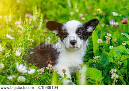 The Dog Is A Corgi Puppy In The Grass . The Puppy Sits In The Grass And Looks At The Camera. A Pet.