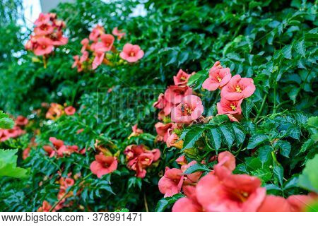 Red Flowers And Green Leaves Of Campsis Radicans Plant, Commonly Known As The Trumpet Vine Or Creepe