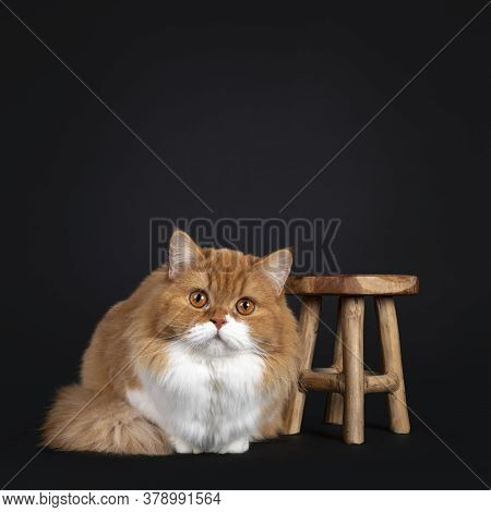 Adorable Red With White British Longhair Cat, Laying Down Beside Little Wooden Stooll. Looking To Ca