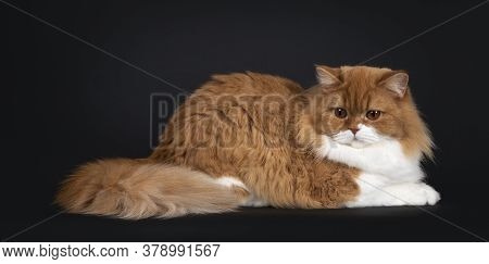 Adorable Red With White British Longhair Cat, Laying Down Side Ways Looking Towards Own Tail With Bi