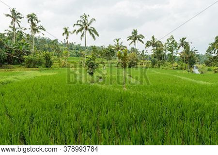 Jatiluwih, Bali Indonesia - April 22, 2013 - Rice Paddies Of Bali On The Cloudy Overcast Day With A