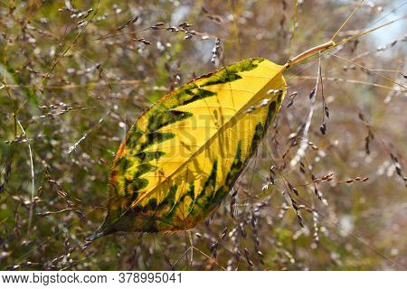 The Beautiful Yellow-green Sacura Leaf Closeup In The Blurred Floral Background