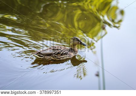 Portrait Of A Young Mallard Duck In A Pond.