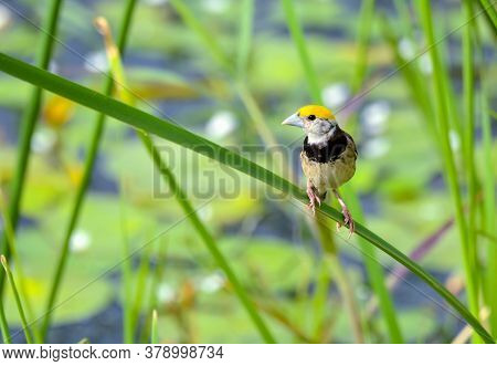 The Black-breasted Weaver, Also Known As The Bengal Weaver Or Black-throated Weaver, Is A Weaver Res