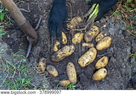Harvesting Potatoes. Fresh Potatoes Dig From Ground With Spade. Fresh Potato. Hands Hold Potatoes
