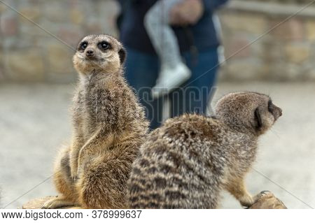 A Close Up View Of Two Meerkats In A Animal Center