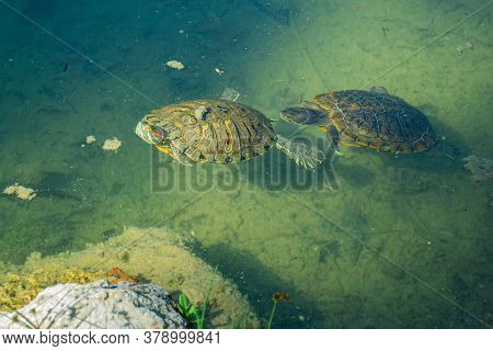 2 Pond Slider Turtles (trachemys Scripta) Are Swimming In A Pond On A Sunny Day. Horizontal Stock Im