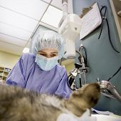 Female veterinarian performs surgery on a small dog poster