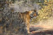 Bengal Tiger standing in forest looking behind bushes poster