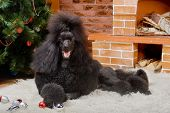 Black Royal poodle near the fireplace and christmass tree poster