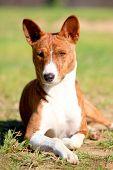 Brindle baseni dog, 7 mounth old, on the nature poster