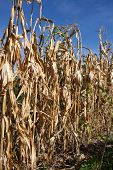 Withered corn field with blue sky above poster