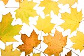 Autumn leaves on a white background. Close-up. poster