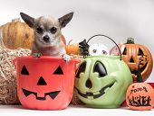 Cute photo of tina tan chihuahua inside a pumpkin candy bucket with Halloween candy and pumpkins poster