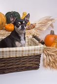 Cute tan and brown chihuahua inside harvest basket with pumpkins Indian Corn wheat stalks and hay stack. On white background poster