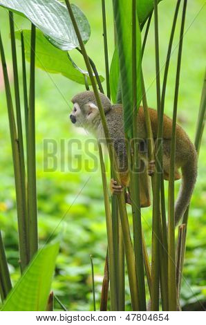 Squirrel Monkey In Amazonian Rainforest