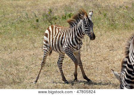 Unsteady Baby Zebra