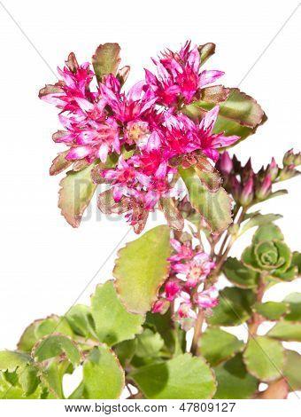 Pink Flowers Of Sedum Causticola