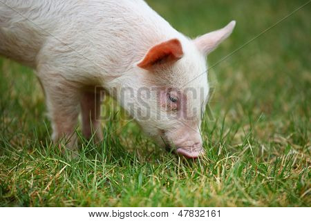 Small piglet grazing in the middle of meadow