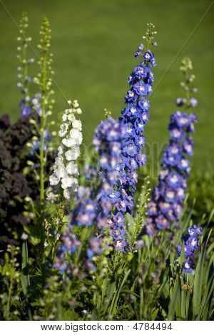 Rows Of Delphinums