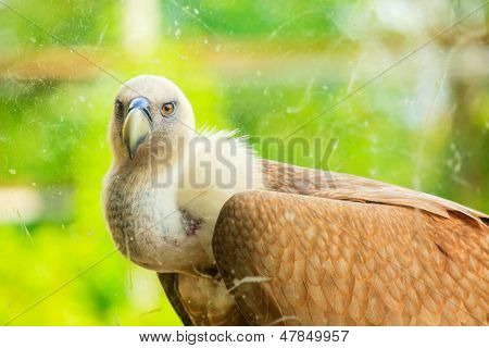 View of Griffon Vulture in the glass cage poster