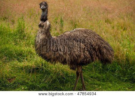 Emu Bird  Full Portrait.