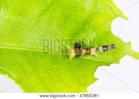 Instar Caterpillar Of Common Mormon Butterfly