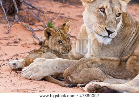 Lion Cub Play With Mother On Sand