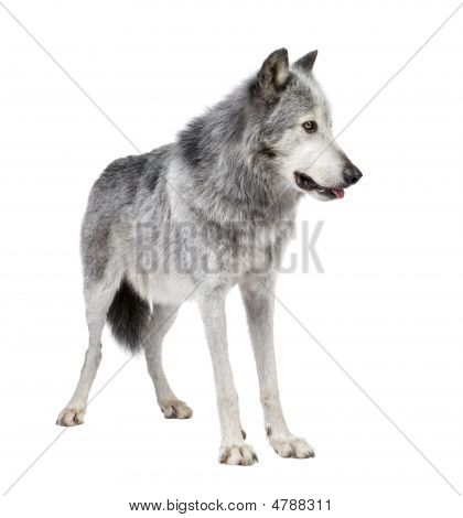 Mackenzie Valley Wolf (8 years) - Canis lupus occidentalis in front of a white background poster