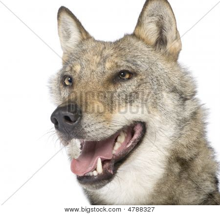 close-up on a old European wolf - Canis lupus lupus in front of a white background poster
